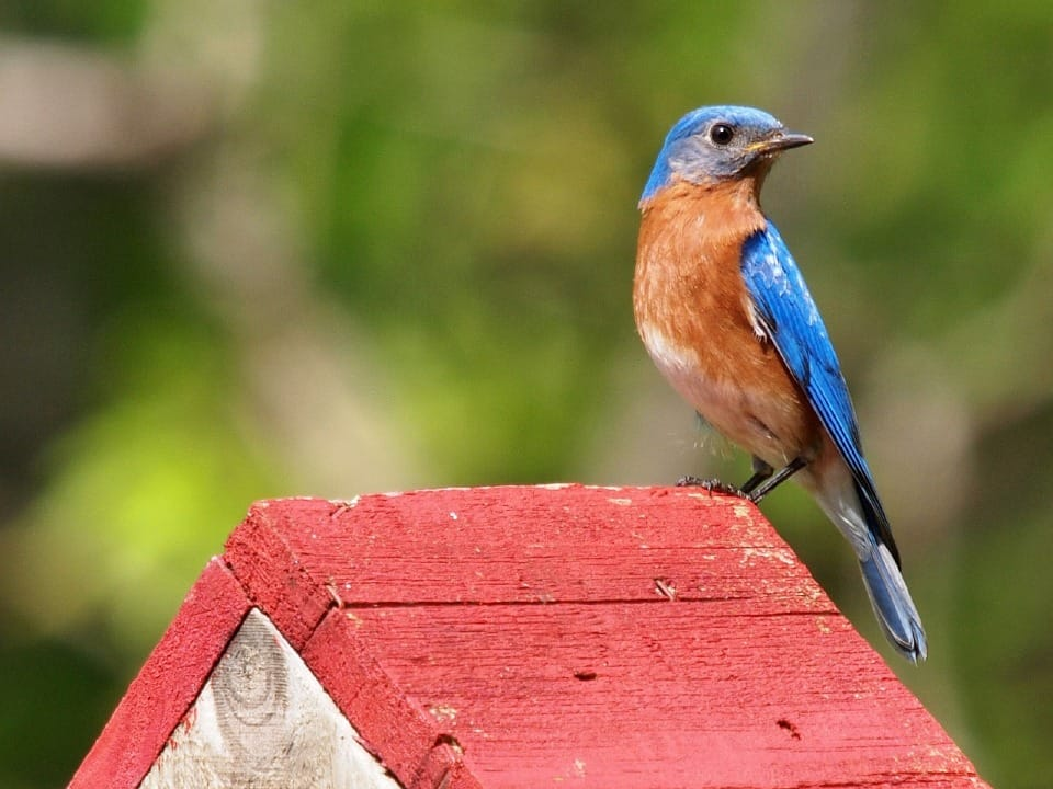 The Quickest and Easy Ways to Attract Bluebirds to Your Backyard