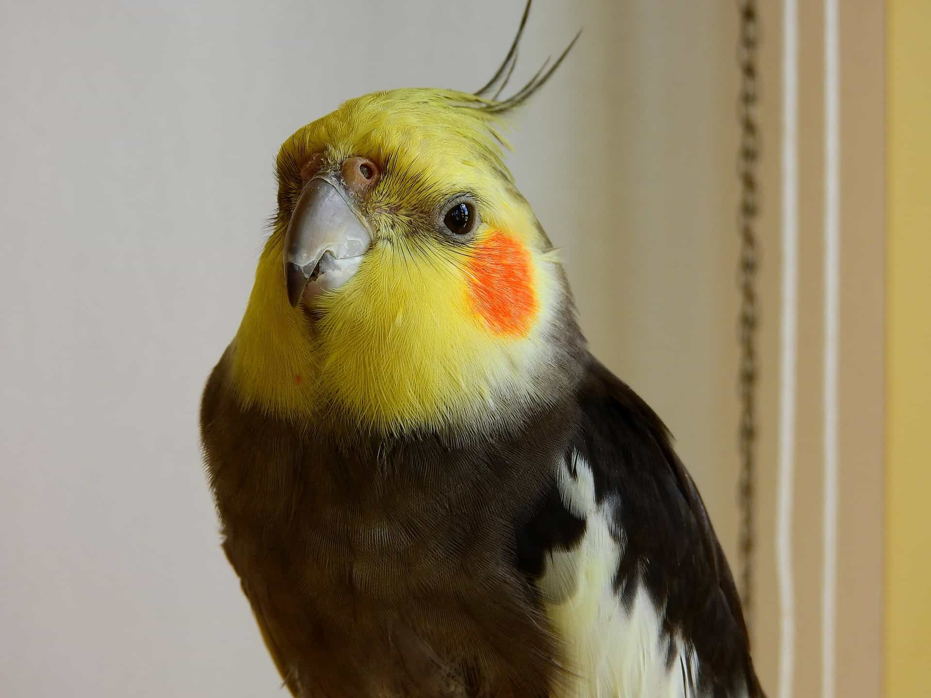 Why Cockatiels Will Be Good Pet?