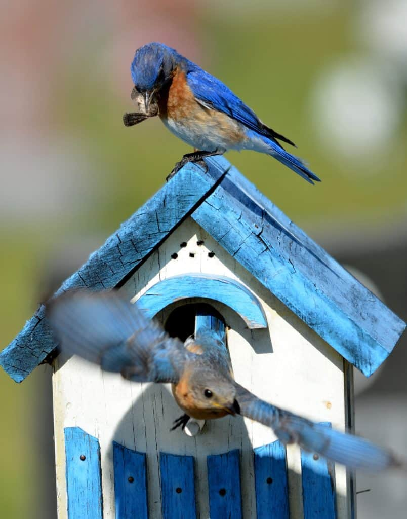 Bluebirds: Some Interesting Facts About It