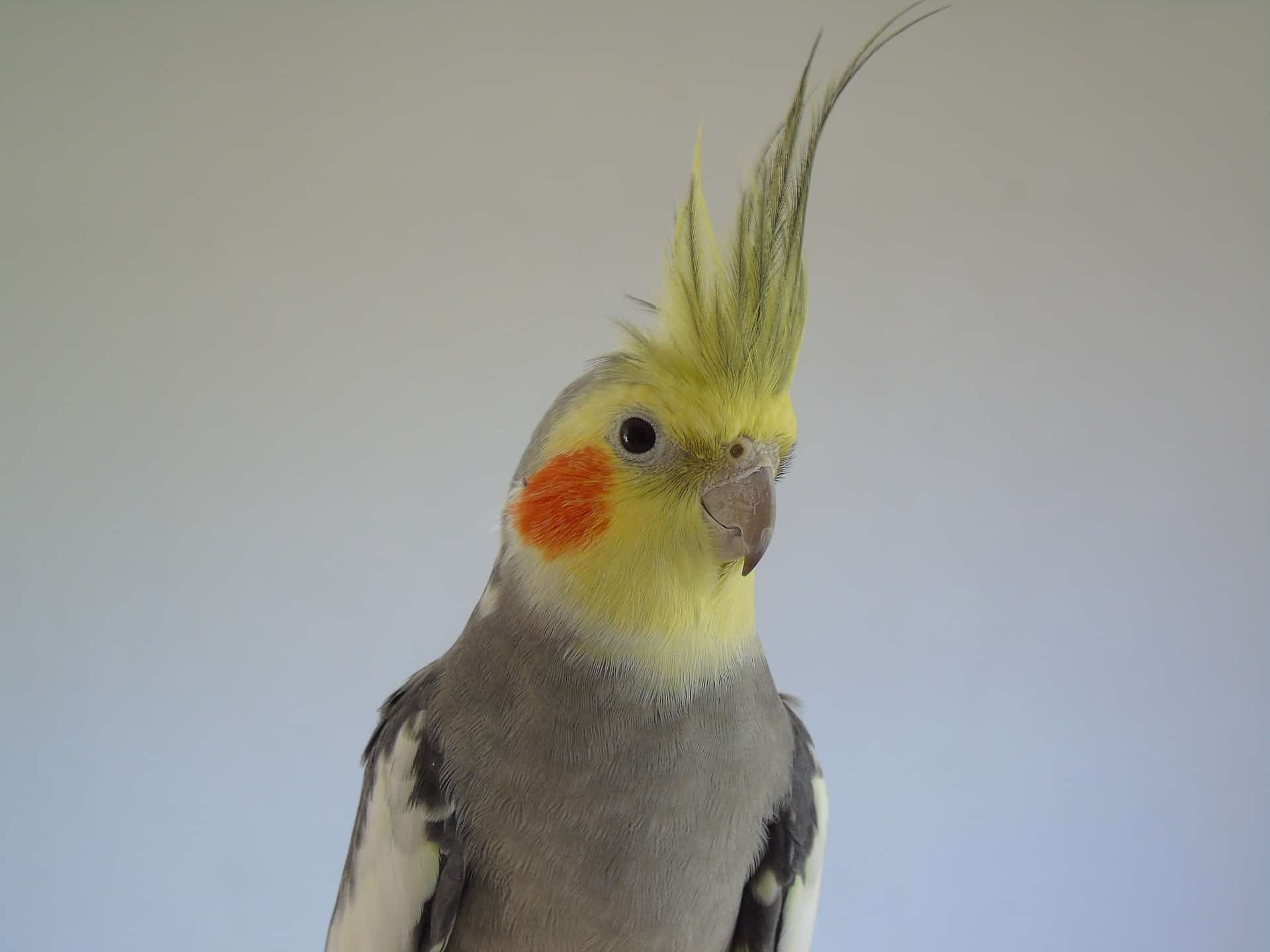 Cockatiel Bird – A Beauty From An Australian Land