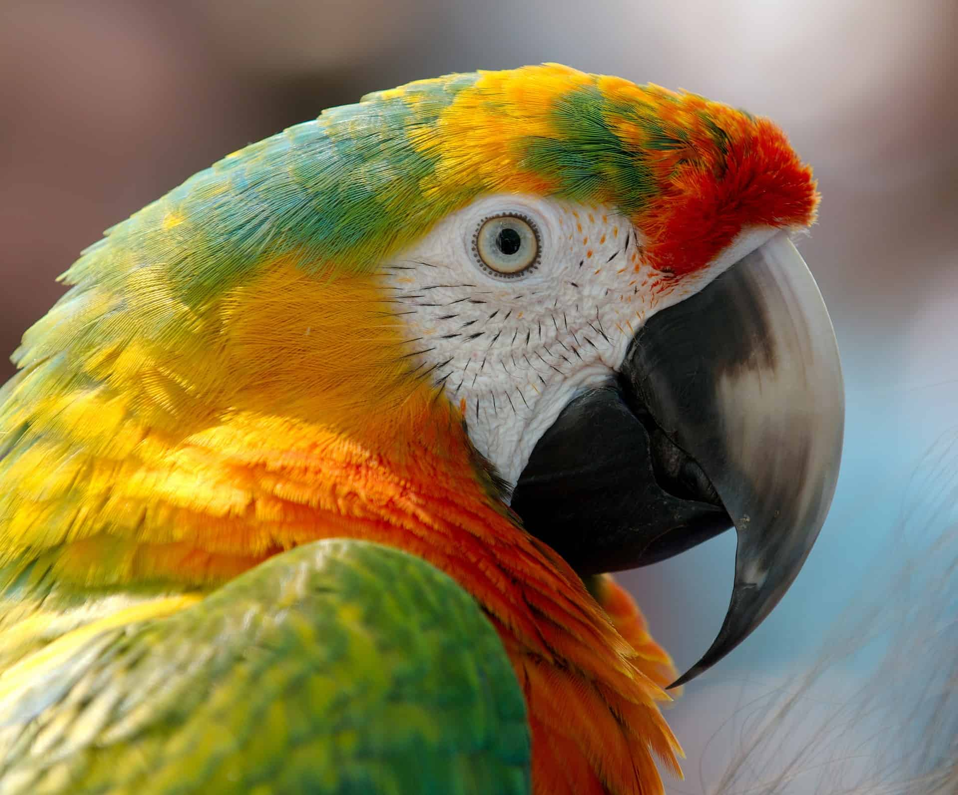 Parrot Species Make Perfect Big Bird Pet