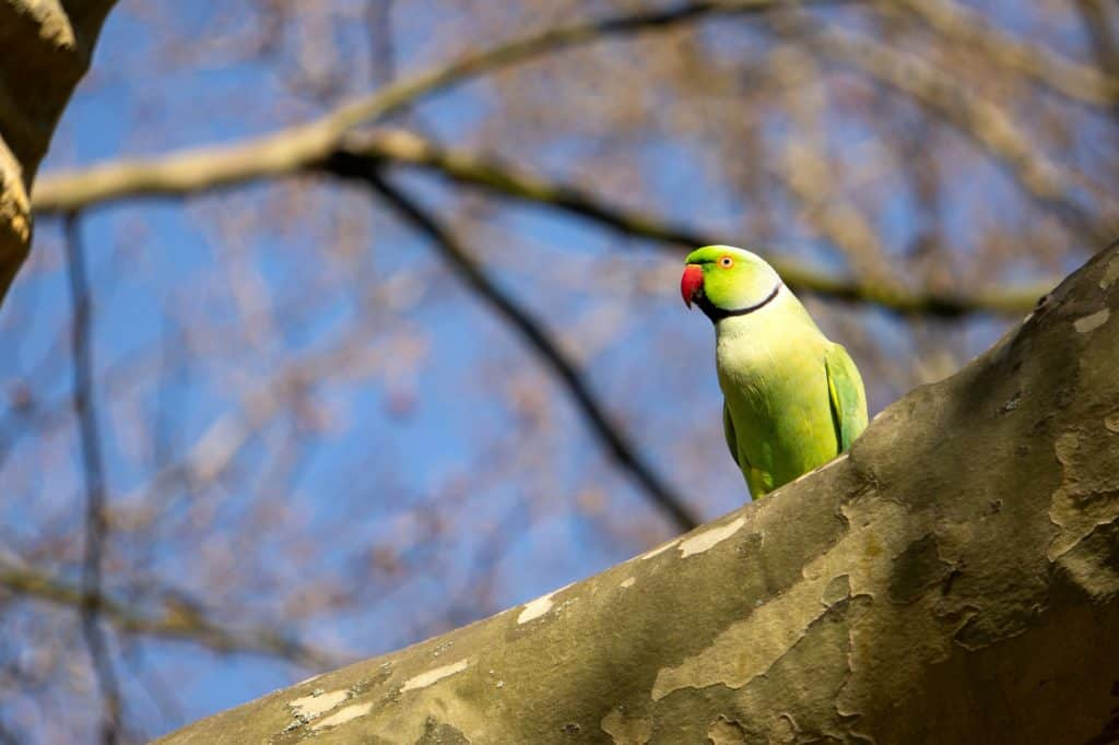 Parakeet – Green Beauty With a Long Tail