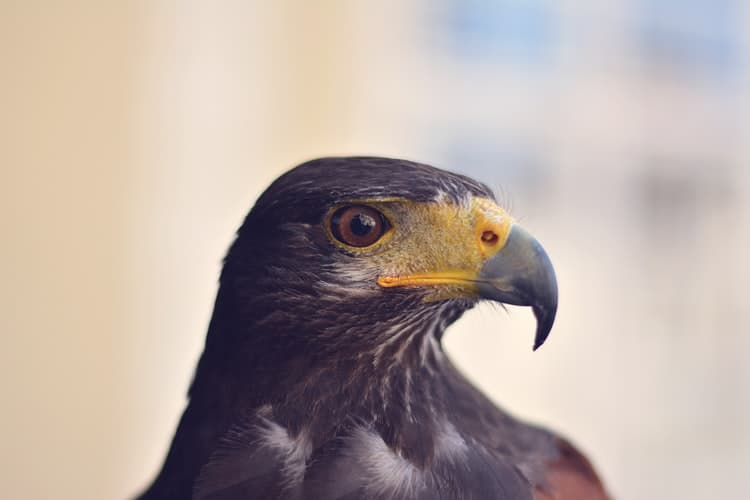 Falcons - Some Fun Facts About These Birds You Should Know