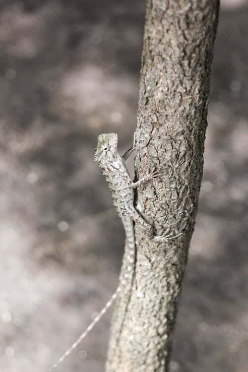 Dragon Lizards Fly By Grabbing Their Fold-Up Wings With Hands