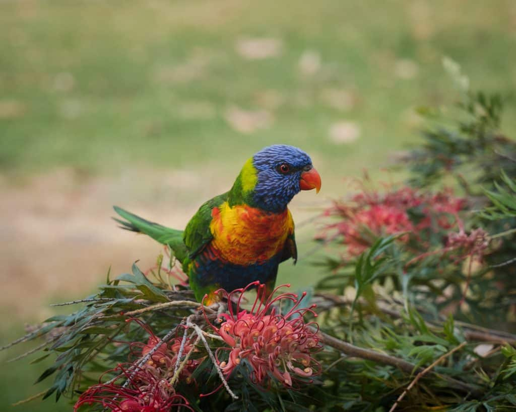 Building Your Own Nest For Parrot Harriers