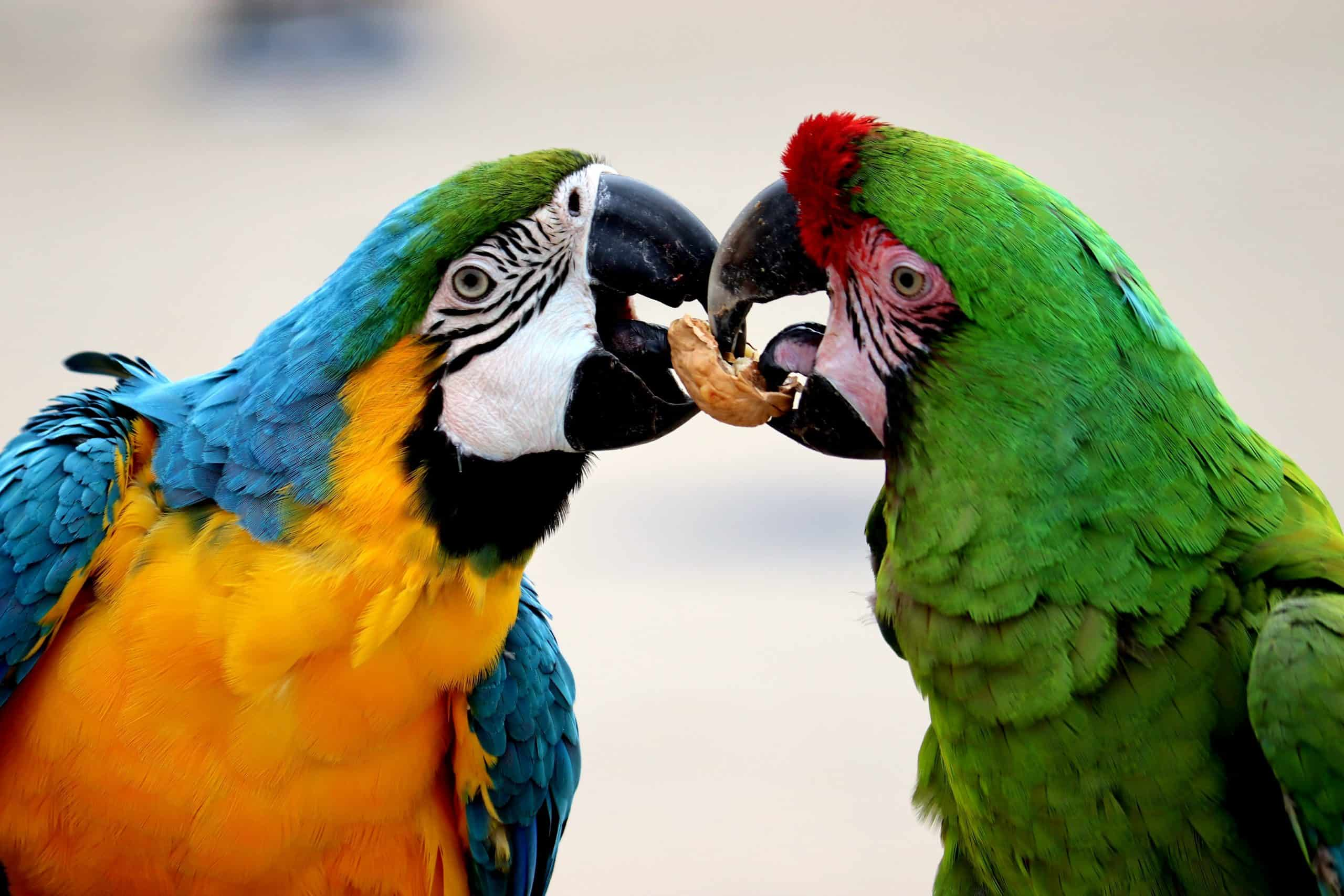 Talking Parrot - How To Get Your Parrot Talking