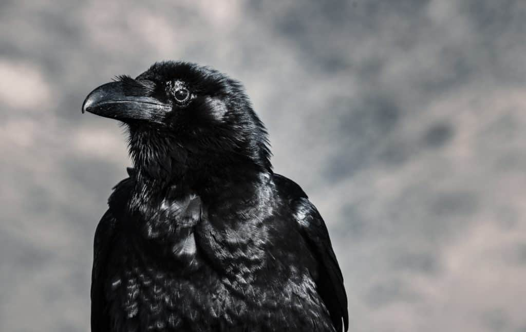 Interesting Facts About Crow's Eyes