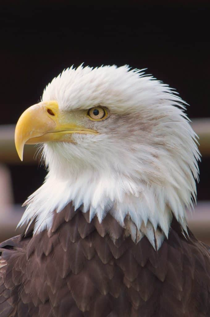 Interesting Eagle Facts - Find The Best Information About Eagle