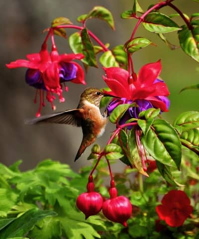 8 Most Common Types Of Hummingbird