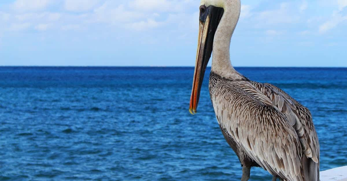 A pelican standing next to a body of water