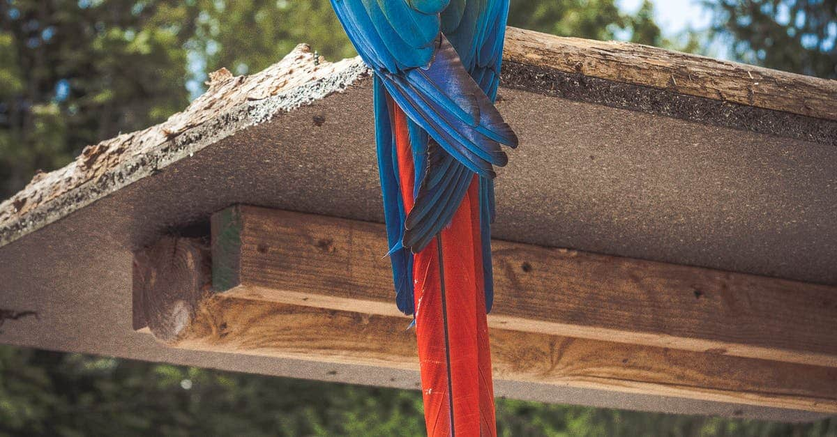 macaw birds facts